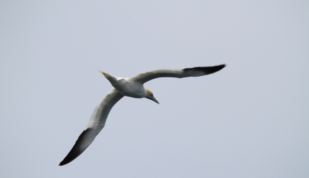Gannet St Magnus Bay